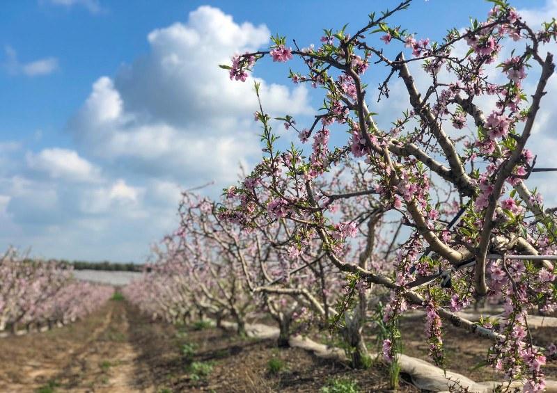 סיור בין עצי אפרסק בפריחה
